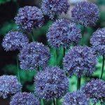 PAEV_PLANTES_Allium-Azureum-Caeruleum