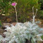 PAEV_PLANTES_Centaurea_pulcherrima