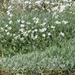 PAEV_PLANTES_Cerastium-tomentosum