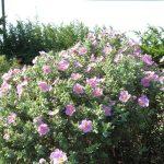 PAEV_PLANTES_Cistus-albidus