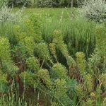 PAEV_PLANTES_Euphorbia-characias