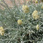 PAEV_PLANTES_Helichrysum-orientalis
