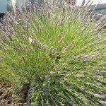 PAEV_PLANTES_Lavandula-angustifolia
