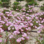 PAEV_PLANTES_Oenothera-speciosa