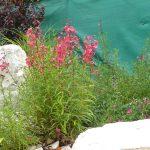 PAEV_PLANTES_Penstemons-hybrides-roses