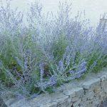 PAEV_PLANTES_Perovskia-atriplicifolia