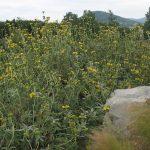 PAEV_PLANTES_Phlomis-fruticosa