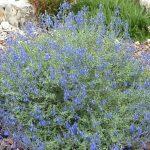 PAEV_PLANTES_Salvia-chamaedryoides