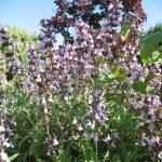 PAEV_PLANTES_Salvia-fruticosa