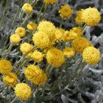 PAEV_PLANTES_Santolina_chamaecyparissus
