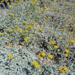 PAEV_PLANTES_Tanacetum-densum-ssp-amanii