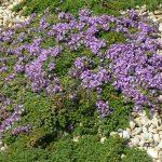 PAEV_PLANTES_Thymus-hirsutus
