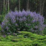 PAEV_PLANTES_Vitex-agnus-castus